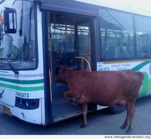 la-vacca-che-cerca-di-salire-sullautobus